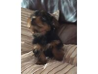 Beautiful Yorkshire Terrier Puppy