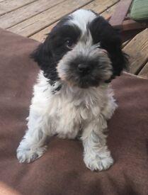Black and white cockapoo girl puppy