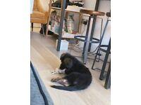 Lovely German Shepherd Puppy Ready For Sale