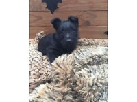 Scottish terrier pups ready now