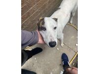Male lurcher for sale