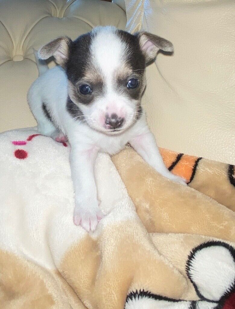 Chorkie Pups 1 left