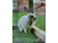 Gorgeous Baby Rabbit For Sale