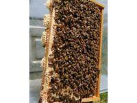 Honey Bees - National 5 Frame Nuc