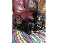 Miniature dachshund pups for sale.