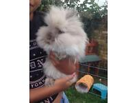 Lionhead Rabbits for sale £25 each