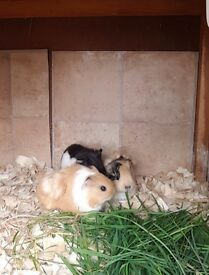 Baby Guineapigs Ready Now