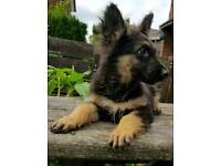 12 weeks old German shepherd Girl