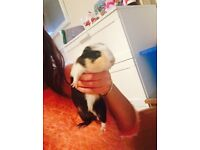 2 male baby guinea pigs for sale & hutch