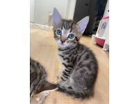 Beautiful bengal X kittens for sale