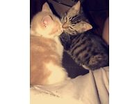 2 kittens for sale 5* homes
