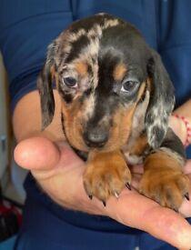 IKC registered dachshund puppy