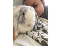 White & Grey mini lop rabbit for sale ( girl & 9 and a half months old)