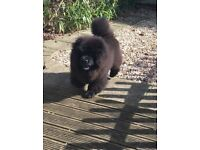 Stunning Black Chow Chow Bitch Kenne Club registered
