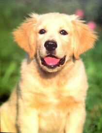Large Quantity CATS & DOGS GREETING CARDS ( GOLDEN RETRIEVER ) WITH DIFFERENT STYLE AND DESIGN
