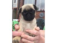 Beautiful pug puppies for sale to good homes