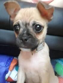 Chihuahua cross pug puppy 16 weeks.