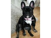 Quality black and tan french bulldog girl for sale