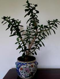 LUCKY JADE MONEY PLANT Feng Shui HOUSEPLANT- large 58cm -free Chinese pot - LAST ONE £25 M'BRO TS8