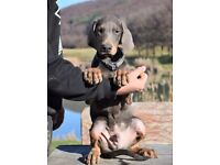 Doberman Blue & Tan Pups Absolutely stunning
