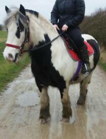 13.3hh chunky pony