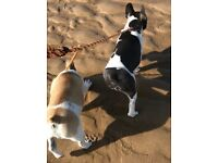 Reduced only for this weekend! Pedigree Spotty French Bulldogs for sale