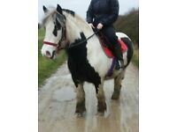 chunky 13.3hh cob for sale