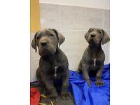 Stunning blue great dane pups