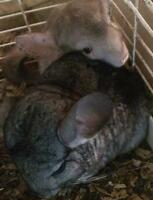 2 female chinchillas