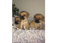 Beautiful puggle puppies