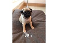 Pug puppies for sale 2 girls