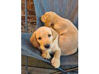 Adorable Labrador puppies ready this week