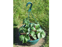 27cm Plastic Hanging Basket with 3 well rooted strawberry plants.
