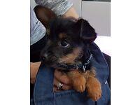 Cute Chorkie puppy forsale