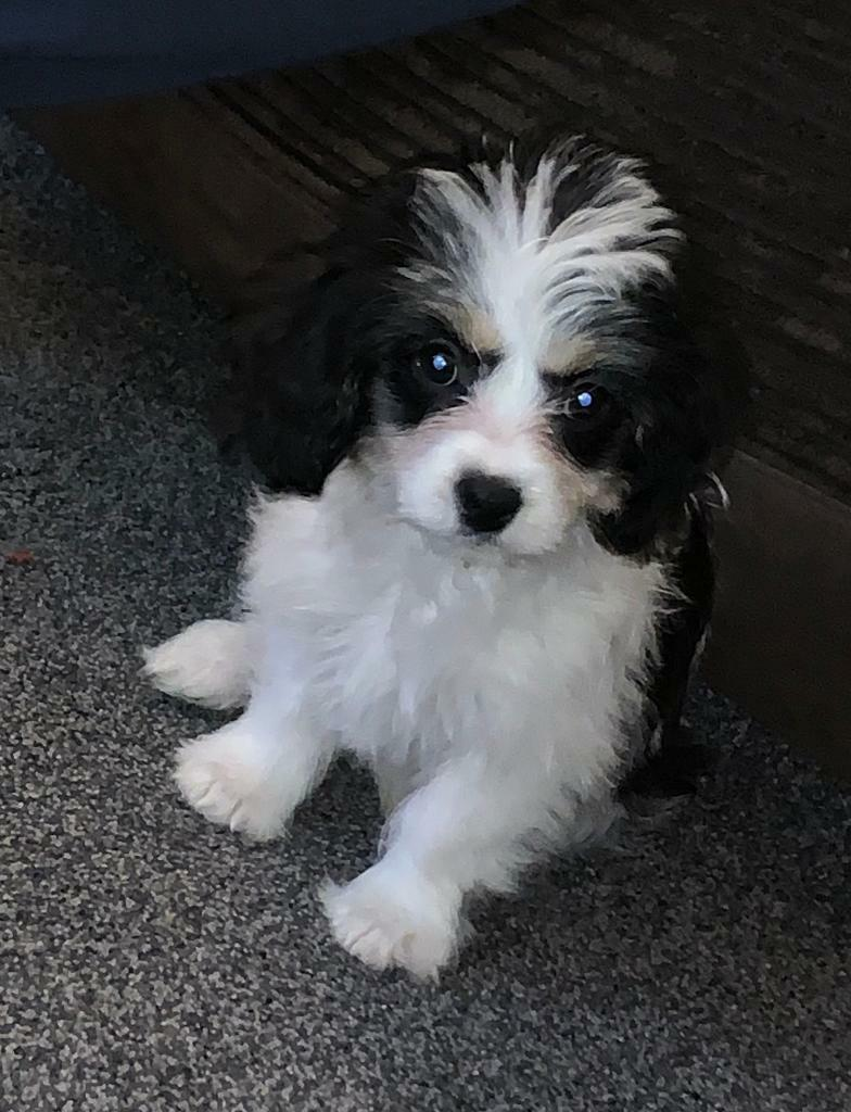Cavachon bitch for sale 4 months old | in Elland, West Yorkshire | Gumtree