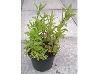 Chewing Gum Mint plant