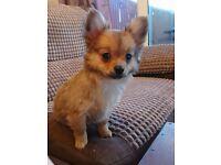 Chihuahua x pomeranian pup pomchi