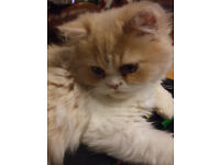 Pedigree Persian Kitten - Health Checked and Injections