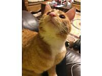 Ginger cat for sale