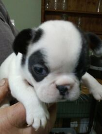 Well bred French bulldog puppies (ready to view) pedigree colours available