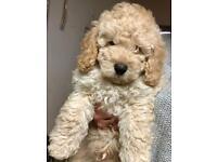 Cockapoo puppy f1b