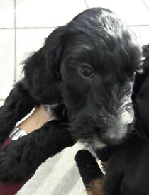 Only one beautiful F1 Cockapoo puppy left, looking for his forever home