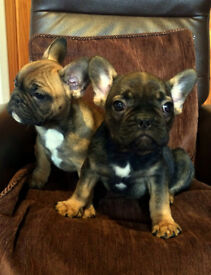French Bulldog Pups READY TO GO