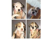 Old Tyme Bulldog x American Bulldog pups