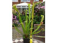 Carnivorous Plant, Sarracenia x Miniata large, exotic pitcher plant catches flies