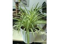 Large white spider plant