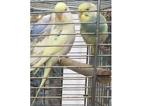 BUDGIES and BRAND NEW Cage