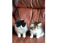 Flat nosed himalayan X Kittens