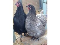 Bantams | Birds for Sale - Gumtree