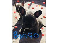 KC reg French Bulldog pups